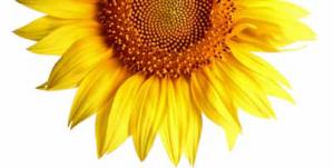 pic sun flower