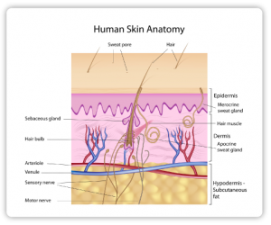 skin pic_understanding-skin_layers-of-the-skin_human-skinanatomy